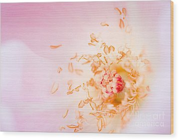 Study Of A Rose One Wood Print by Lisa McStamp