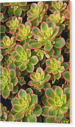 Succulent Glow Wood Print by Suzanne Oesterling