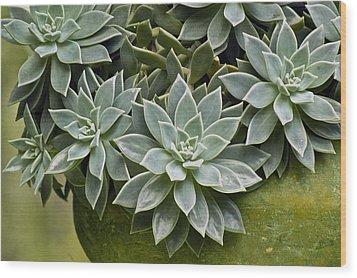 Succulent Rose In Moss Green Pot Wood Print