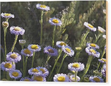 Suisun Marsh Aster In The Morning Light Wood Print by Artist and Photographer Laura Wrede
