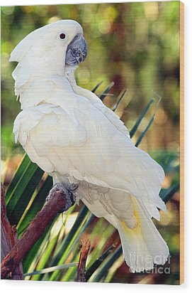 Sulfur-crested Cockatoo Wood Print by Millard H. Sharp