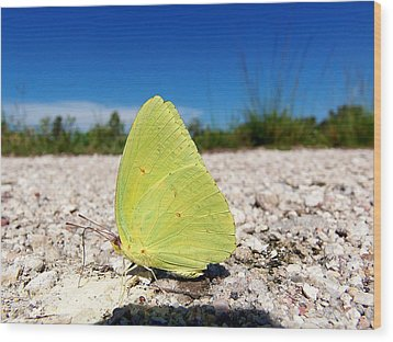 Wood Print featuring the photograph Sulphur Yellow Butterfly by Chris Mercer