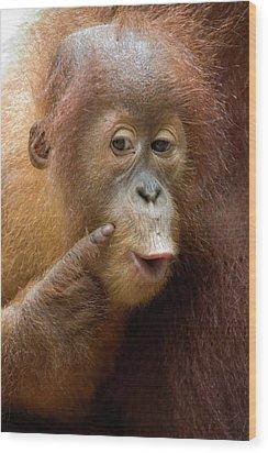 Sumatran Orangutan Baby Calling Wood Print by Suzi Eszterhas
