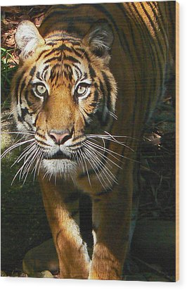 Sumatran Tiger Emerges Wood Print