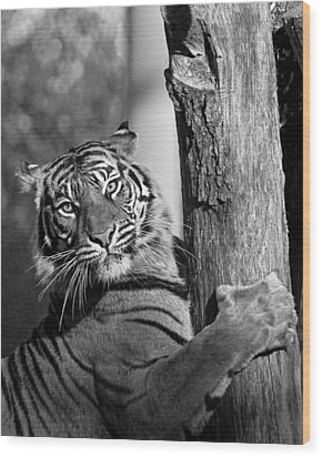 Sumatran Tiger Wood Print by Gary Neiss