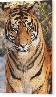 Wood Print featuring the photograph Sumatran Tiger by Olivia Hardwicke