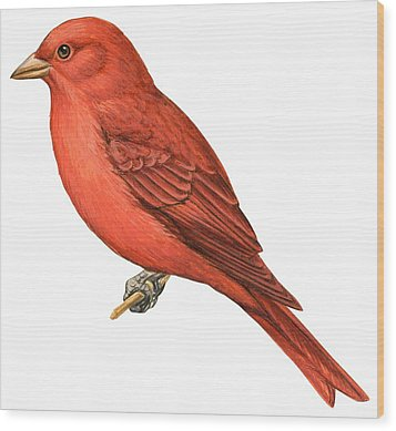 Summer Tanager  Wood Print by Anonymous