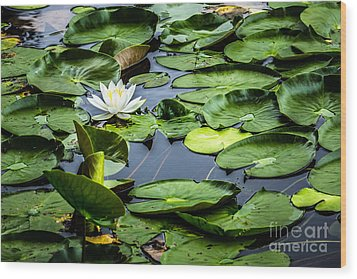 Summer Water Lily 1 Wood Print by Susan Cole Kelly Impressions
