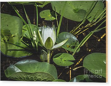 Summer Water Lily 2 Wood Print by Susan Cole Kelly Impressions