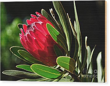 Sun-filled Protea Wood Print by Kaye Menner