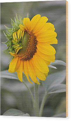 Wood Print featuring the photograph Sun Flower by Nick Mares