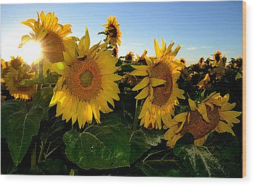 Sun Flowers And Pollen Wcae2  Wood Print