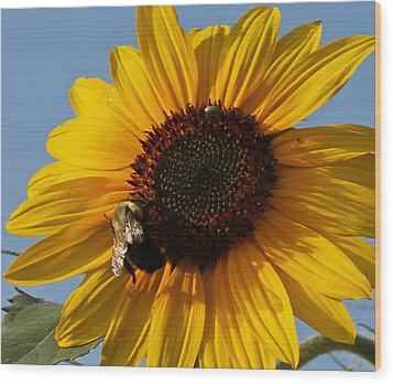 Sunflower And Bee Wood Print by Victoria Sheldon