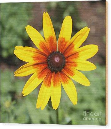 Sunflower At Full Bloom  Wood Print by John Telfer
