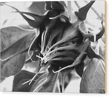 Wood Print featuring the photograph Sunflower Beginning by Sandi OReilly