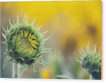 Sunflower Bloom Wood Print