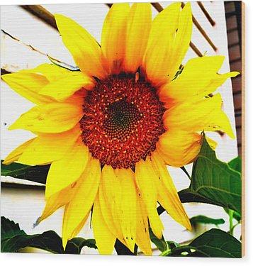 Sunflower Blossom  Wood Print