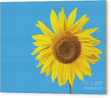 Sunflower Blue Sky Wood Print