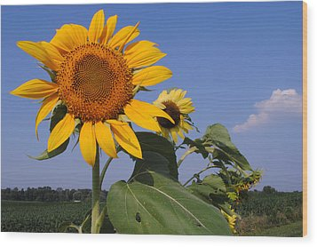 Sunflower Blues Wood Print by Frozen in Time Fine Art Photography