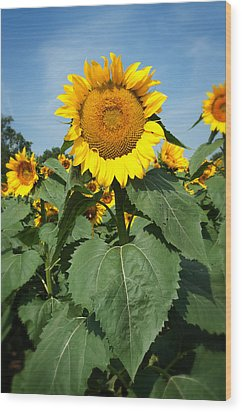 Wood Print featuring the photograph Sunflower by Bud Simpson