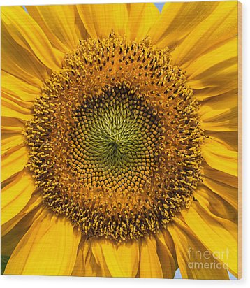 Sunflower Closeup Wood Print by Carsten Reisinger