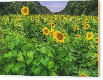 Wood Print featuring the photograph Sunflower Field In Oil by Michael Donahue