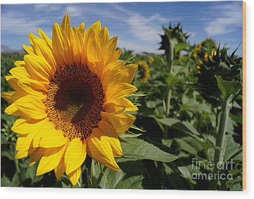 Sunflower Glow Wood Print by Kerri Mortenson