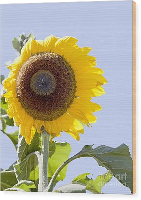 Wood Print featuring the photograph Sunflower In The Blue Sky by David Millenheft