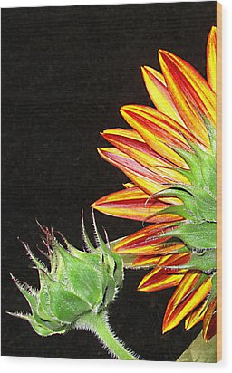 Sunflower In The Making Wood Print by Joyce Dickens