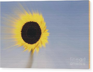 Sunflower Light Rays In The Wind  Wood Print