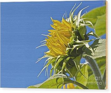 Sunflower Wood Print by Linda Bianic