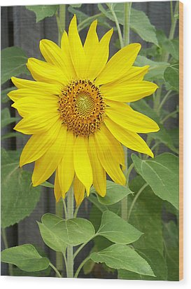 Sunflower Wood Print by Lisa Phillips