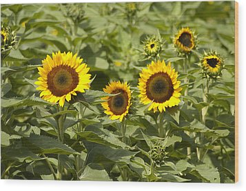 Sunflower Patch Wood Print by Bill Cannon