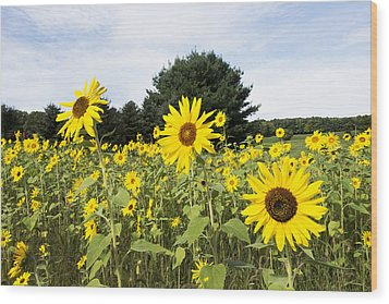 Sunflower Patch Wood Print by Ray Summers Photography