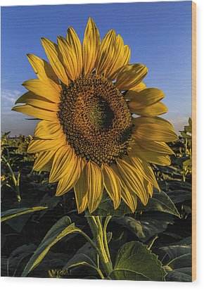 Sunflower Wood Print by Rob Graham