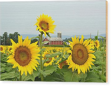 Sunflower Splendor #1 - Mifflinburg Pa Wood Print
