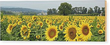 Sunflower Splendor Panorama #2 - Mifflinburg Pa Wood Print