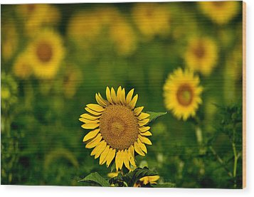 Sunflower Summer Wood Print by Christopher L Nelson