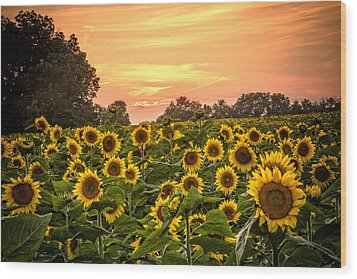 Wood Print featuring the photograph Sunflower Sunset by Steven Bateson