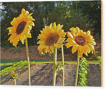 Sunflower Trio Wood Print by K L Kingston