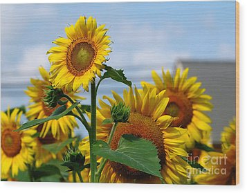 Sunflowers 1 2013 Wood Print by Edward Sobuta
