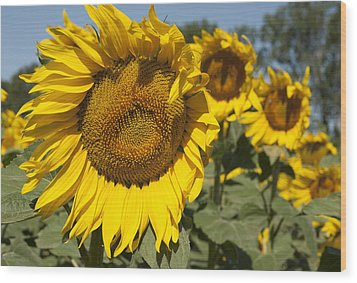 Wood Print featuring the photograph Sunflowers Aglow by Phyllis Peterson