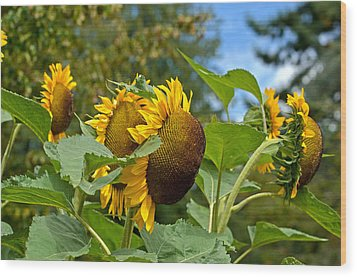 Wood Print featuring the photograph Sunflowers by Allen Biedrzycki