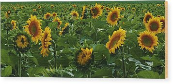 Sunflowers Galore Wood Print by Bruce Bley