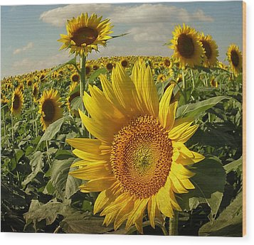 Kansas Sunflowers Wood Print by Chris Berry