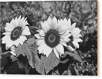 Sunflowers In Black And White Wood Print by Kaye Menner
