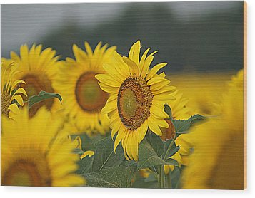 Wood Print featuring the photograph Sunflowers by Kathy Churchman