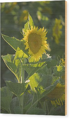 Sunlight And Sunflower 3 Wood Print