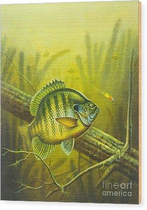 Sunny Day Panfish Wood Print by Jon Q Wright