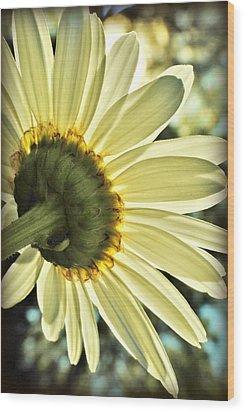 Sunny Shasta Daisy Wood Print by Kelly Nowak